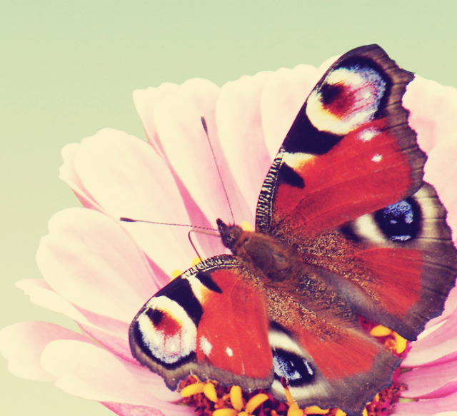 _butterfly_wallpaper